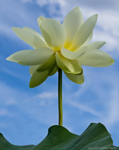 Lotus Blossom – A Bugs Life
